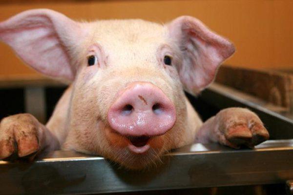 свиньи станут донорами
